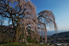 23山梨の桜 (19.4.6) (427)