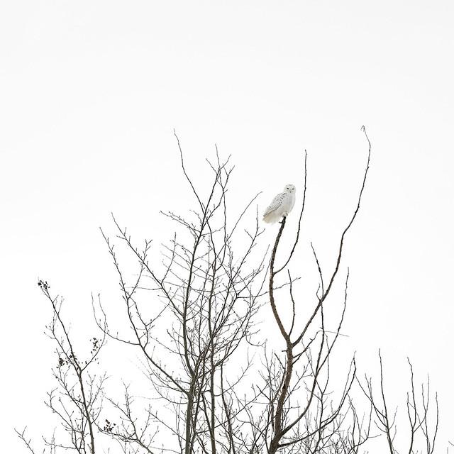 Harfang des neiges, Snowy, Fujifilm X-T1, XF50mmF2 R WR