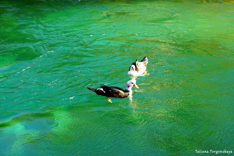 Утки в реке Брегава в Стоце