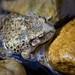 Petita granota al riu Matarranya