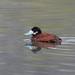Andean Duck Oxyura ferruginea