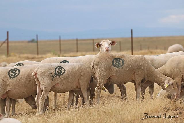 La Serena, troupeau flock, Canon EOS 760D, 150-600mm F5-6.3 DG OS HSM | Contemporary 015