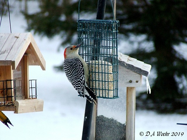 Red-bellied Woodpecker, Fujifilm FinePix S5200