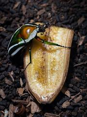 Derbyan's Buffalo Beetle