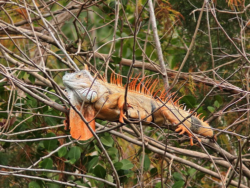Green Iguana in breeding condition 20190212