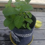 mint planting in The Deck by shiny