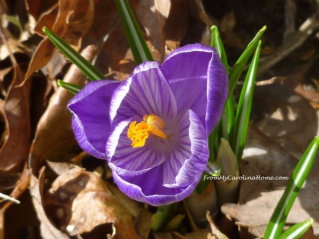 First Crocus 2019 at FromMyCarolinaHome.com