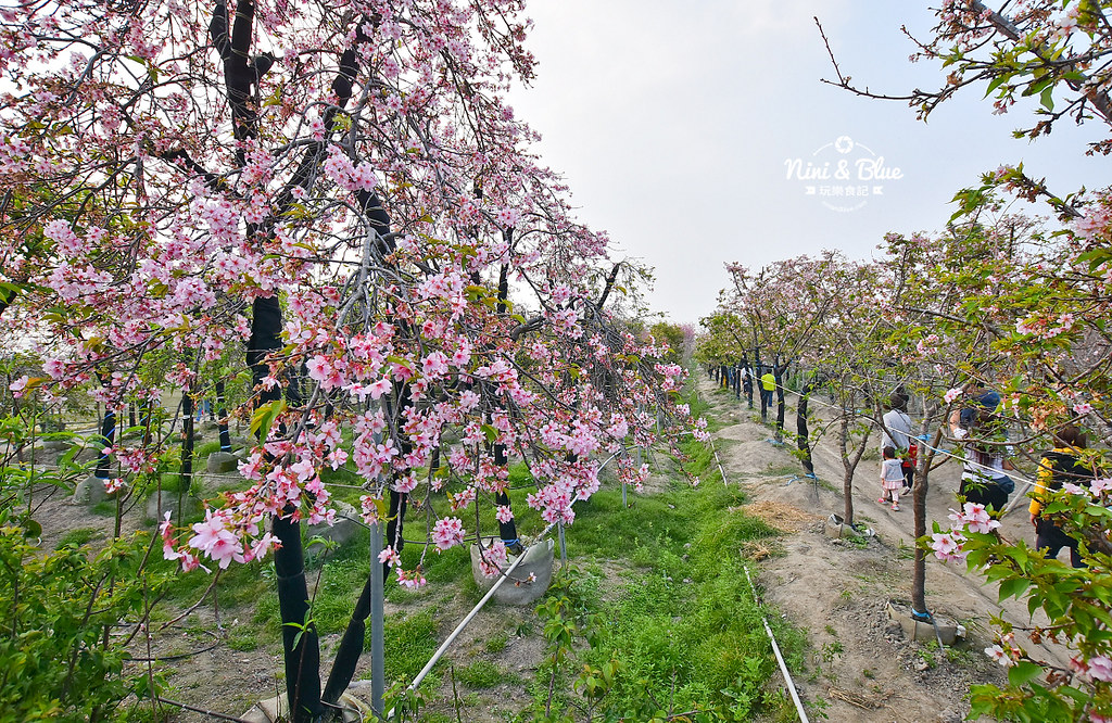 2019櫻花種苗場  台中彰化芬園03