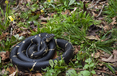 Eastern Kingsnake and Trout Lillies