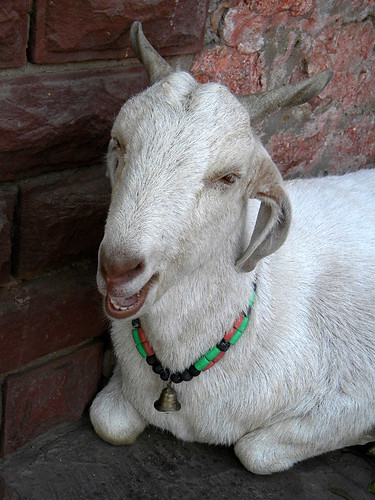 A goat with a necklace Fatehpur Sikri, a town outside of Agra in India