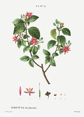 Crossberry (Grewia occidentalis) illustration from Traité des A