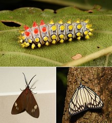 METAMORPHOSIS - Drury's Jewel or Black-veined Burnet Moth (Cyclosia papilionaris, Chalcosiinae, Zygaenidae)