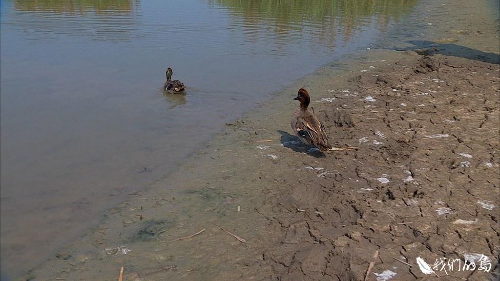 復原之後的雁鴨,分兩批野放。