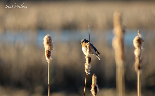Male Eastern Bluebird Absorbin' the Sun
