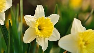 Osterglocke (Narcissus) I