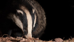 Badger hunting out its next meal