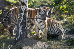 Two tiger cubs behind the tree