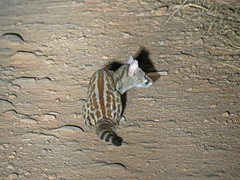 large-spotted genet4; s luangwa natl prk
