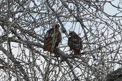 Individual Red-Tailed Hawks Identification, Back, Photo 2 of 3