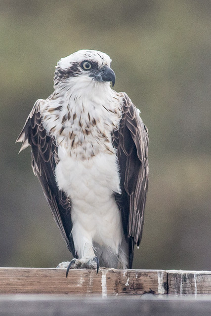 Eastern Osprey, Canon EOS 700D, Canon EF 400mm f/5.6L
