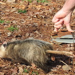 anotherpossum