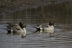 Northern Pintail trio