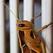 Garden Locust detail