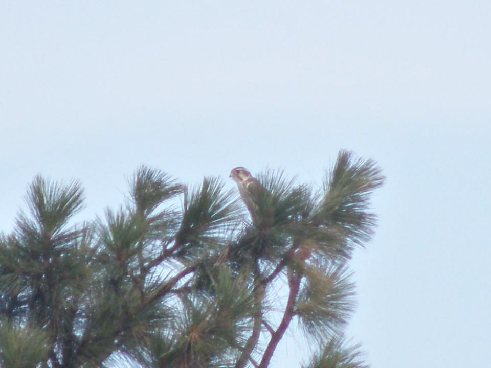 PA011489...Prairie Falcon