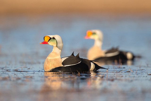 King Eiders - Barrow, Alaska
