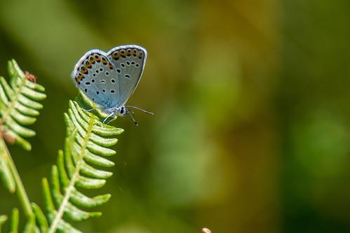 Silver studded blue - Plebejus argus - Heideblauwtje