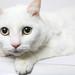 A217817--Lily-- white sh