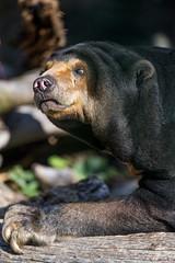 Attentive sun bear