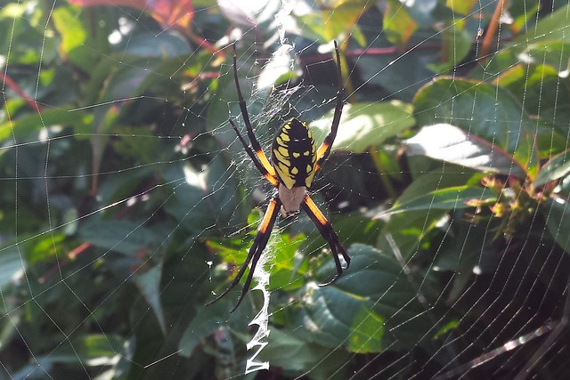 A yellow garden spider in a large web between plants.