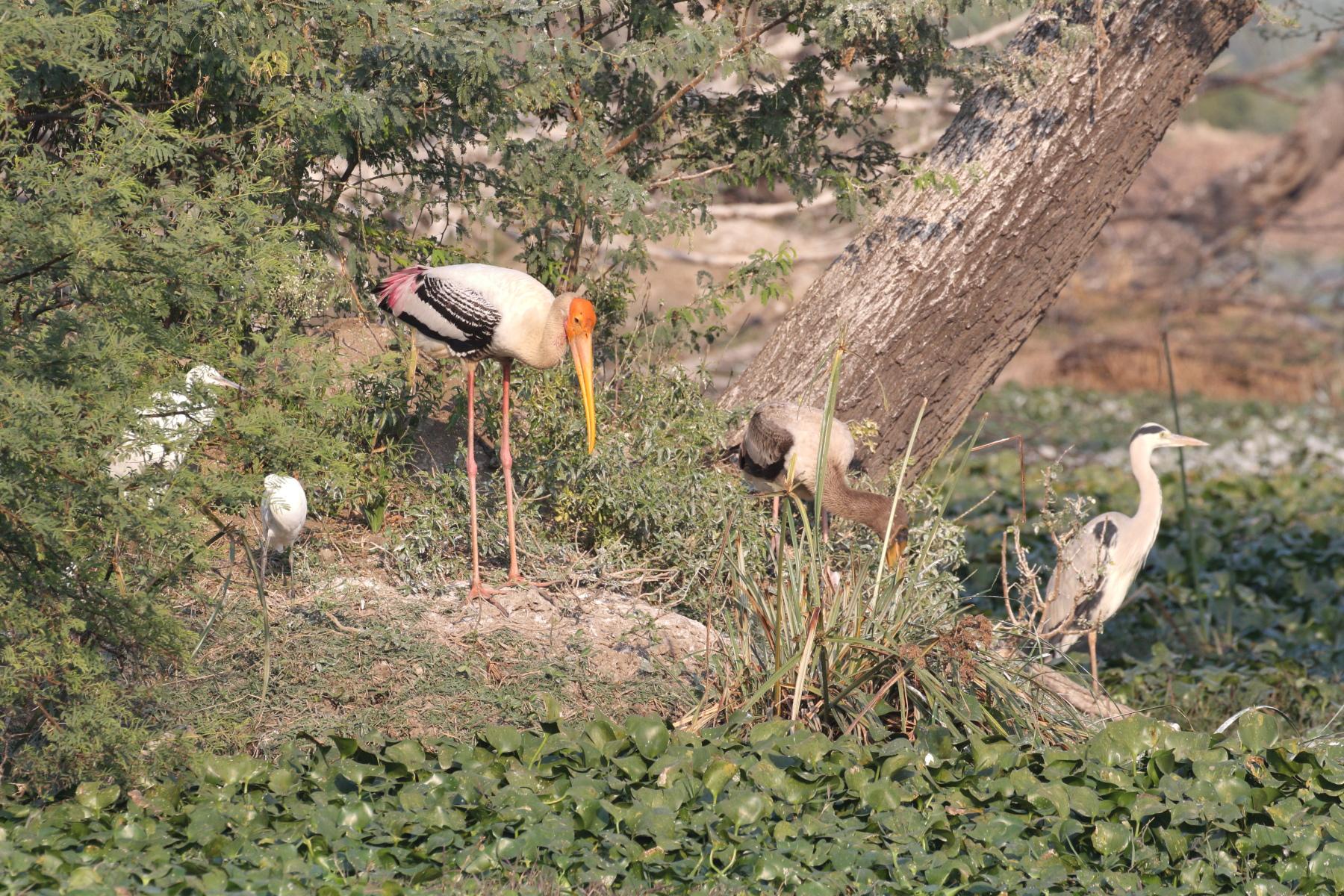 Painted Storks, Grey Heron & Intermediate Egret