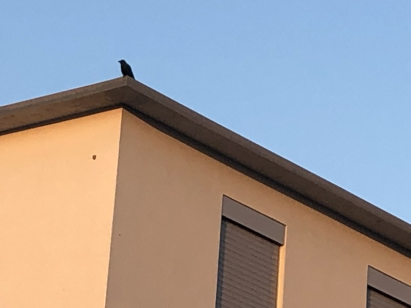 Crow on a roof