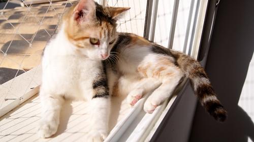 Zoe, gatita tricolor jaspeada divertida y guapa esterilizada, nacida en Septiembre´18, en adopción. Valencia. 46426551784_5f4f111ff8