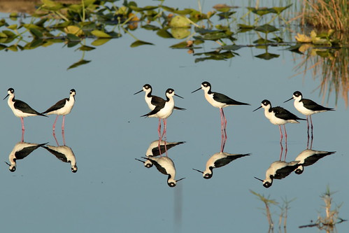 Black-necked Stilts 005-20190401