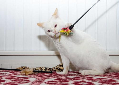 Corinto, gatito siamés Red Point muy guapo, esterilizado tímido y bueno nacido en Octubre´18, en adopción. Valencia. 47097906512_858bf11579