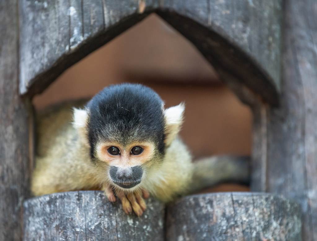 Black Capped Squirrel Monkey_2
