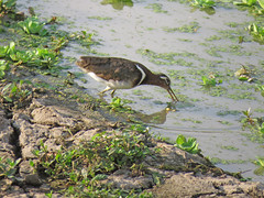 greater painted-snipe2; s luangwa natl prk
