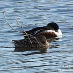 Aves en las lagunas de La Guardia (Toledo) 23-3-2019