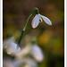 Snowdrop-0503