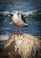 Morro Bay Sea Gull  No 2