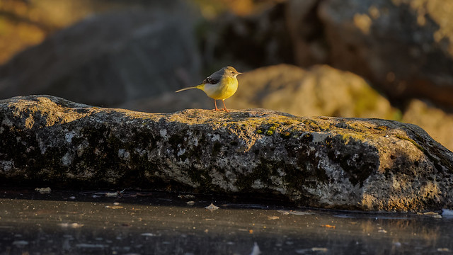 Wagtail (1/2) : White, Grey and Yellow