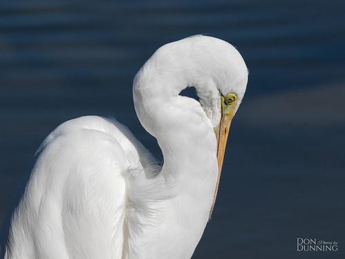 Great Egret (Ardea alba) | by Don Dunning