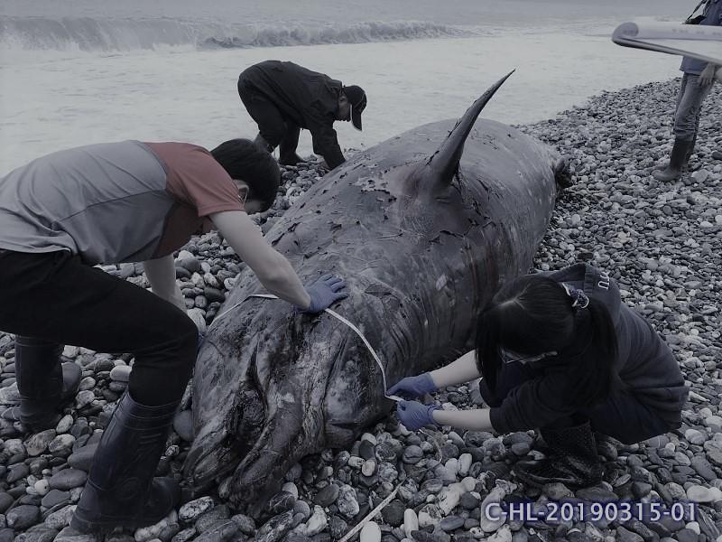 海保署與中華鯨豚協會在現場進行擱淺鯨豚紀錄。圖片來源:海洋保育署。