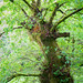 An Ent in Lockwood 8056 by Mike Thornton 15