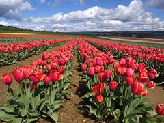 Champs de tulipes - Photo of Lurs