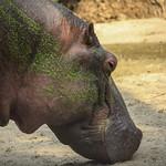 Hippo's head