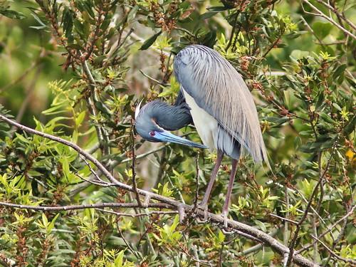 Tricolored Heron breeding plumage 032-20190308